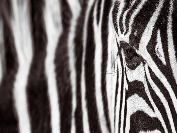 monochrome-zebra-portrait